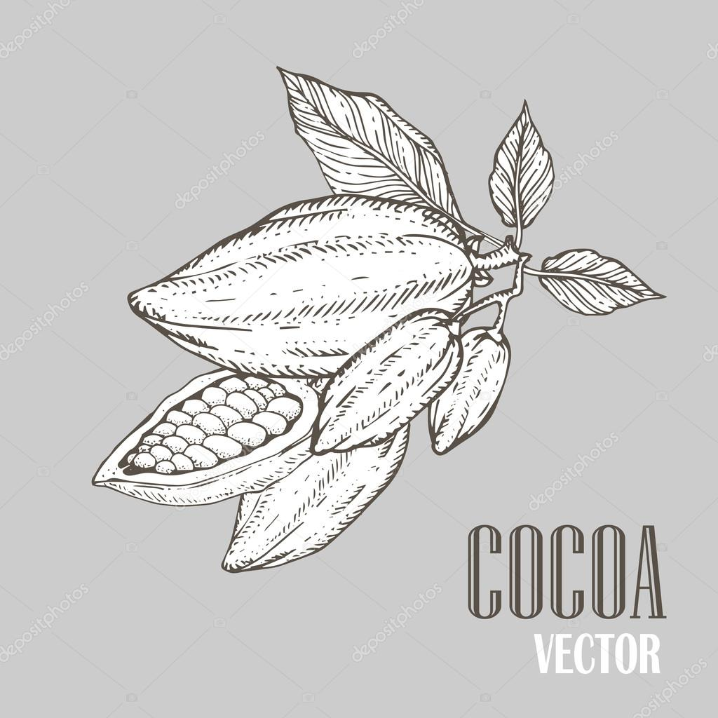 Hand painted cocoa botany illustration. Decorative doodle of healthy nutrient food.