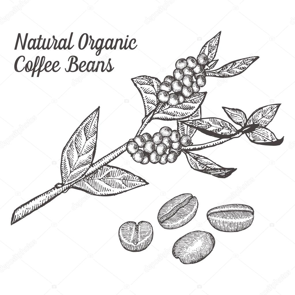 Coffee branch plant with leaf, berry, bean, fruit, seed. Natural organic caffeine drink. Hand drawn vector illustration on white background.