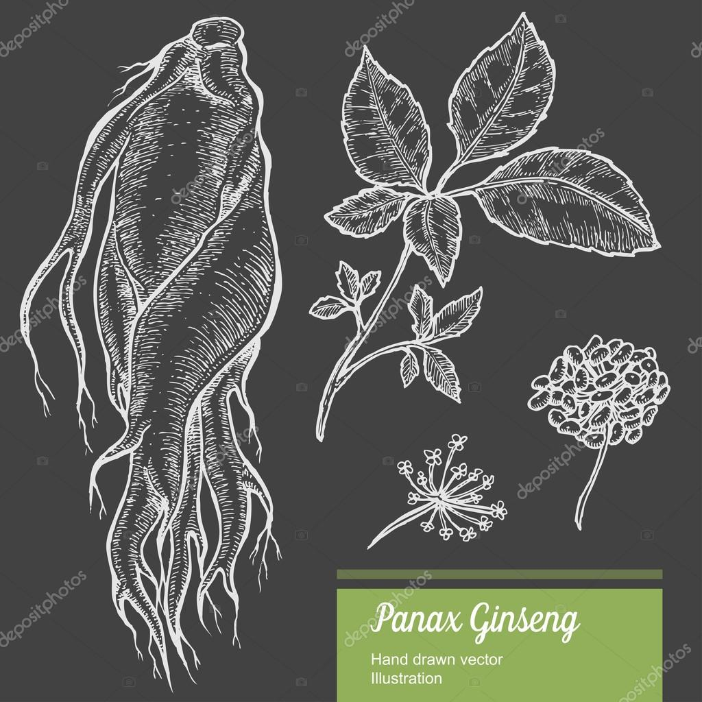 Ginseng root, leaf, berry, flower isolated on chalkboard background. Organic nature chinese and korean herb. Hand drawn vector illustration