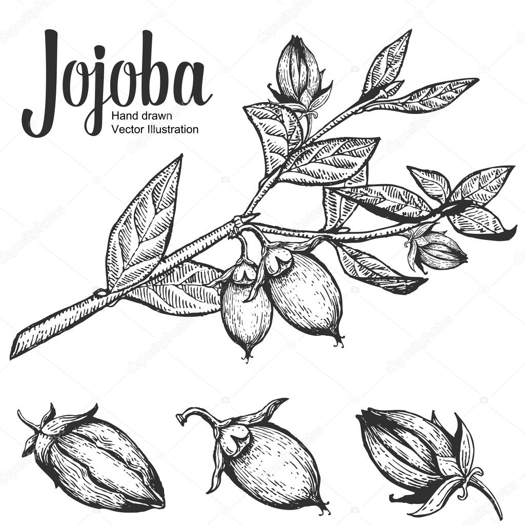 Jojoba nut, seed, fruit, branch, leaf, fruit. Organic oil nutrition healthy food. Engraved hand drawn vintage retro vector illustration