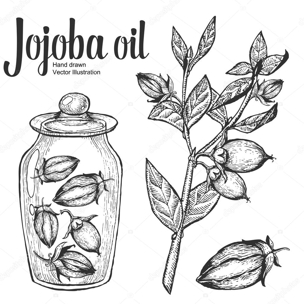 Jojoba nut, seed, fruit, branch, leaf, fruit in glass bottle. Organic oil nutrition healthy food. Engraved hand drawn vintage retro vector illustration