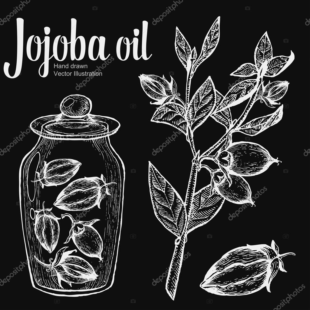 Jojoba nut, seed, fruit, branch, leaf, fruit in glass bottle on chalkboard. Organic oil nutrition healthy food. Engraved hand drawn vintage retro vector illustration