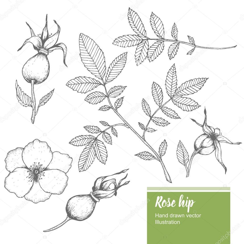 Rosehip flower, bud, branch, leaf sketch vector nature summer organic hand drawn illustration set