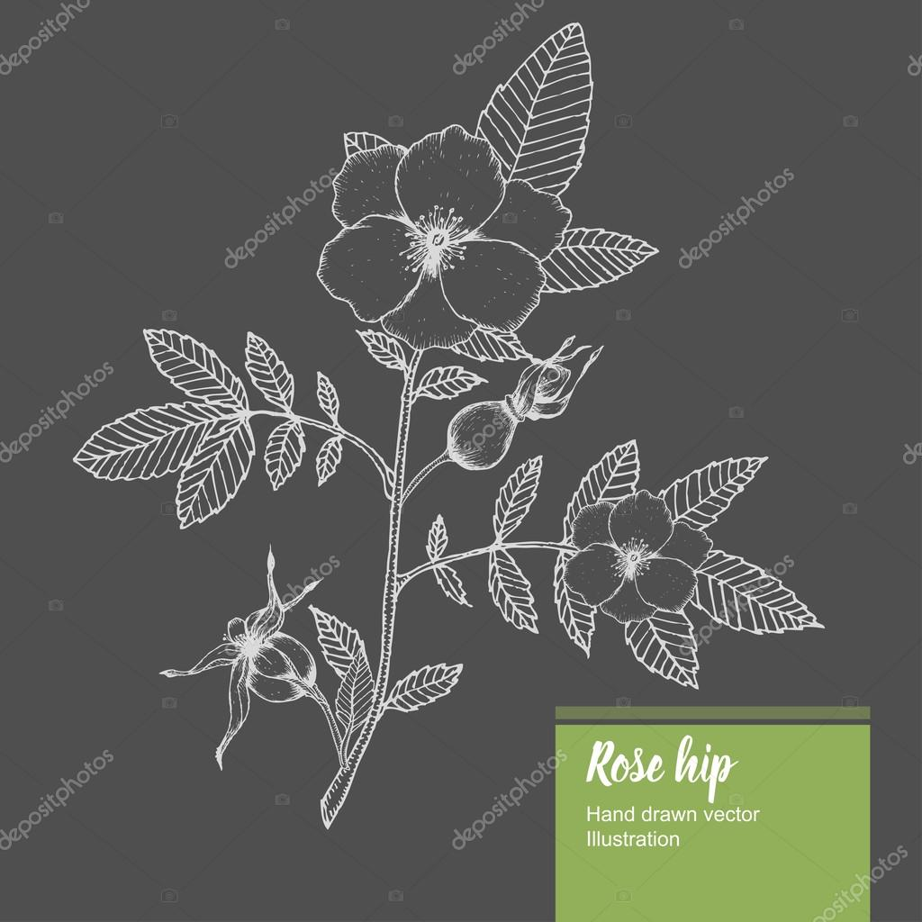 Rosehip flower, bud, branch, leaf sketch vector nature summer organic hand drawn illustration.