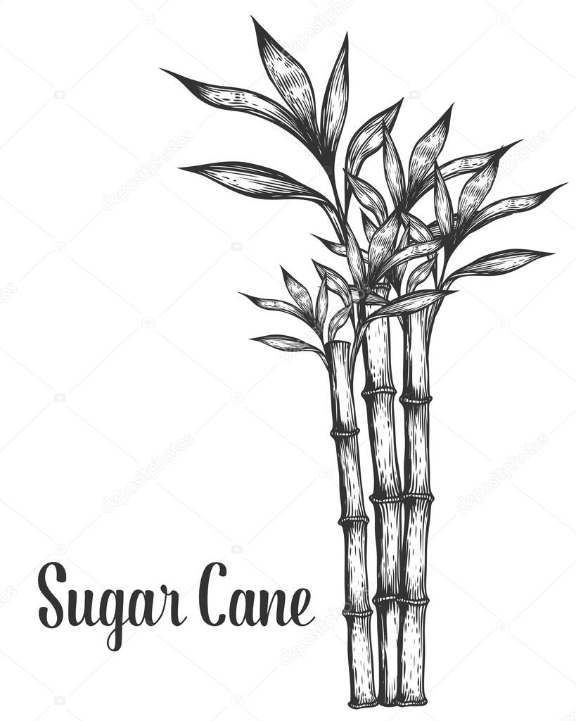 Sugar cane stem branches and leaf vector hand drawn illustration. Sugarcane Black on white background. Engraving style.