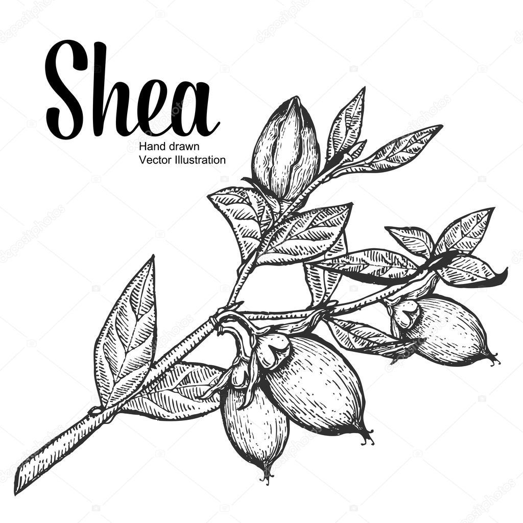 Shea plant organic nuts vector illustration. Monochrome, Line Art. Engraving