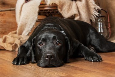 Portrait of sad black labrador retriver dog lying on the floor