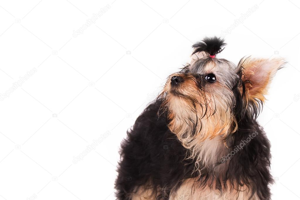 Yorkshire Terrier Kolyok Feher Hatter Stock Foto C Oov 70264325