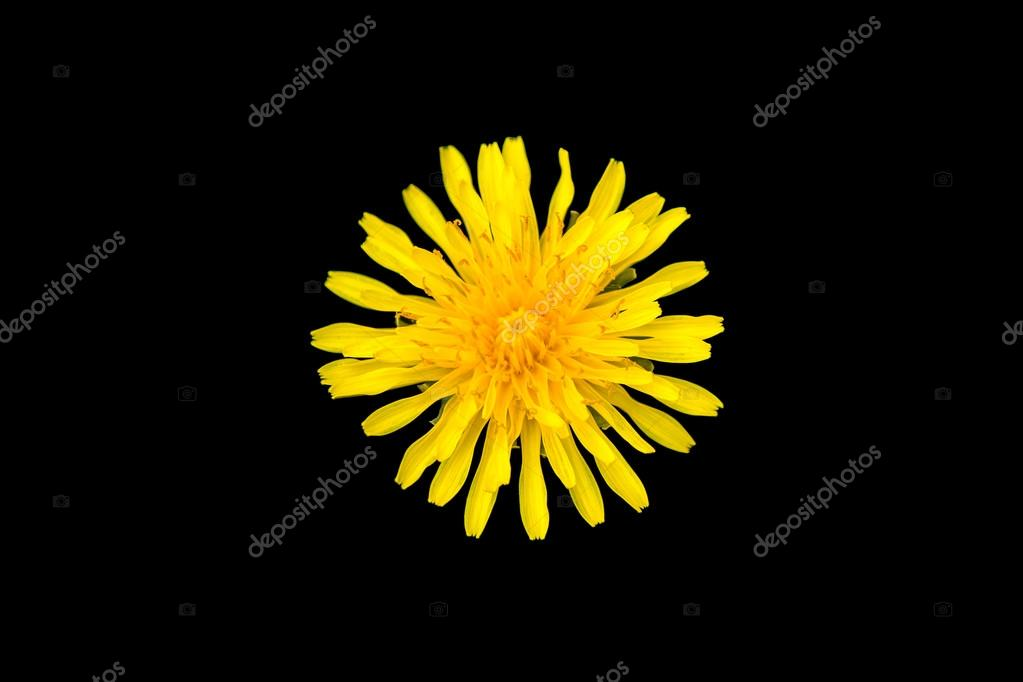 bright yellow dandelion Flower on a black background. pink flower bud on a sunny natural background