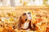 Beautiful dog among yellow leaves, portrait. Beagle Dog. Autumn.