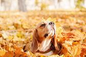 Krásný pes mezi žluté listy, portrét. Beagle psa. Podzim.