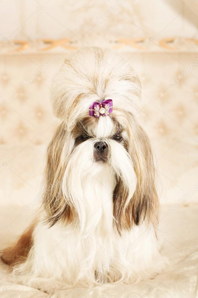 Shih Tzu With Long Hair In A Beautiful Classic Interior Stock