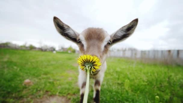 Mladý roztomilý koza jde do kamery při pohledu na malou slunečnici na první plán