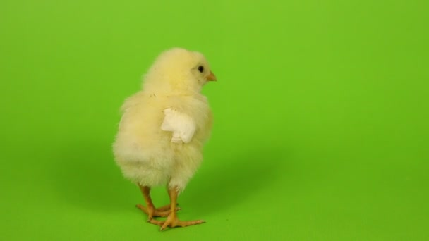 poultry farming and chick