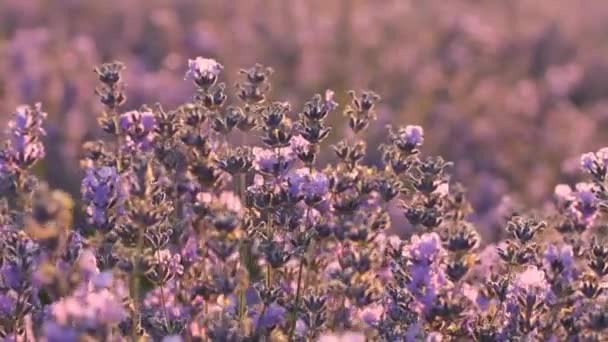 A beautiful fragrant lavender field in the morning sunlight.