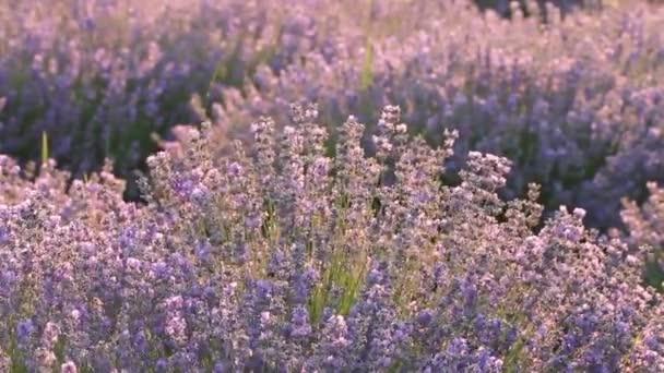 Krásné voňavé levandulové pole v ranním slunci.
