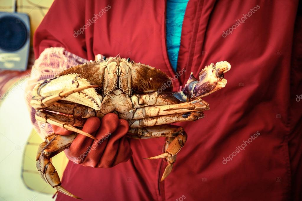 woman in red cloak is holding a crab with red rubber gloves stock