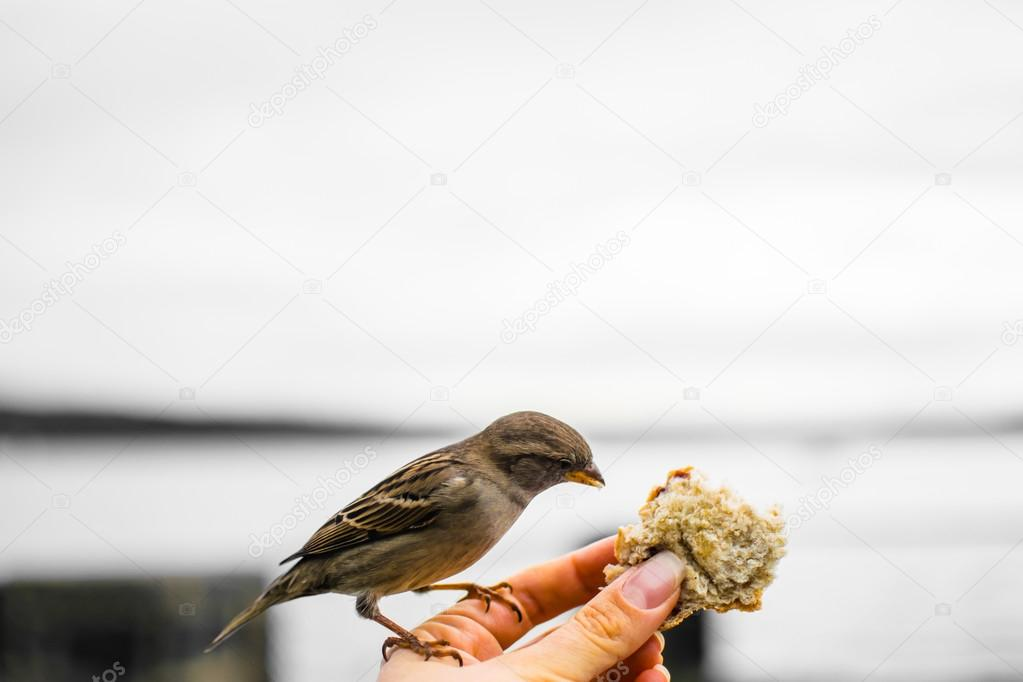 Feeding sparrows on Museum island - Bygdoy Peninsula. A sparrow on hand with a piece of bread, Oslo, Norway