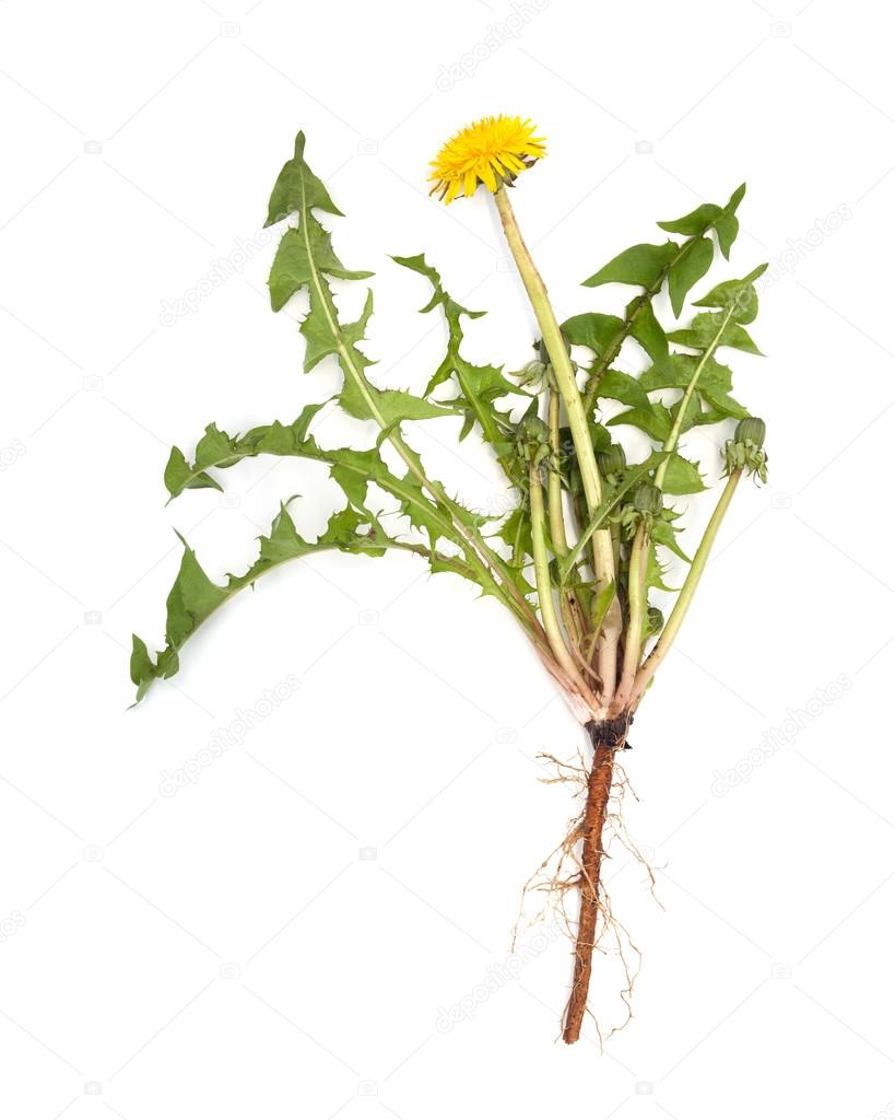 dandelion root is isolated