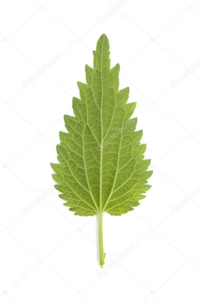 leaf of young green nettle isolated