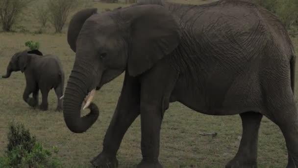 Az elefánt a törzsével rágcsálja a füvet.