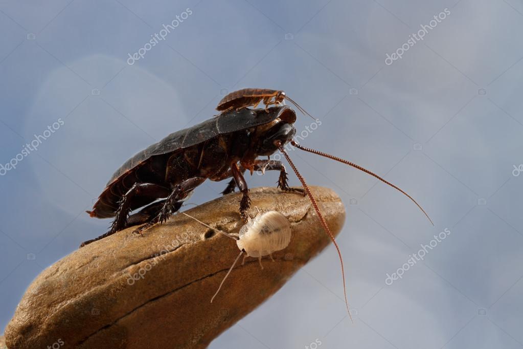 blatte ou cafard latest photo hd les problmes de blattes. Black Bedroom Furniture Sets. Home Design Ideas