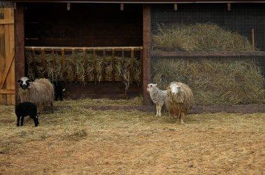 """Картина, постер, плакат, фотообои """"овцы семьи с ягнят рядом с яслями на скотоводческой ферме """", артикул 83018606"""
