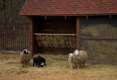"""Картина, постер, плакат, фотообои """"овцы семьи с ягнят рядом с яслями на скотоводческой ферме """", артикул 83018624"""