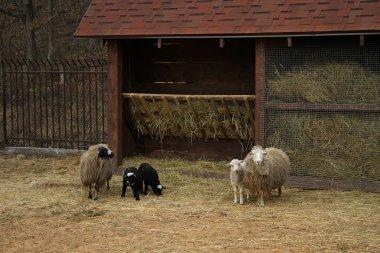 """Картина, постер, плакат, фотообои """"овцы семьи с ягнят рядом с яслями на скотоводческой ферме """", артикул 83018648"""