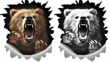 Angry shout bear on white background. Beast claws tearing metal. Two variations in color and monochrome black and white