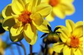 sárga virág közelről