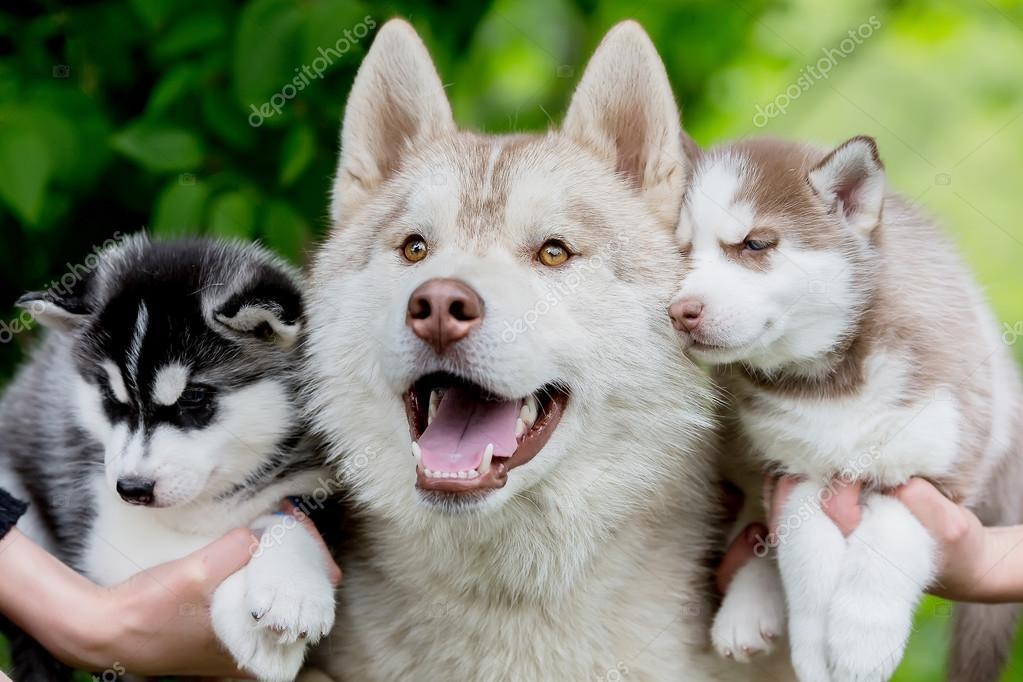 Divertido Husky Gris Con Dos Perritos Pequeños Fotos De Stock