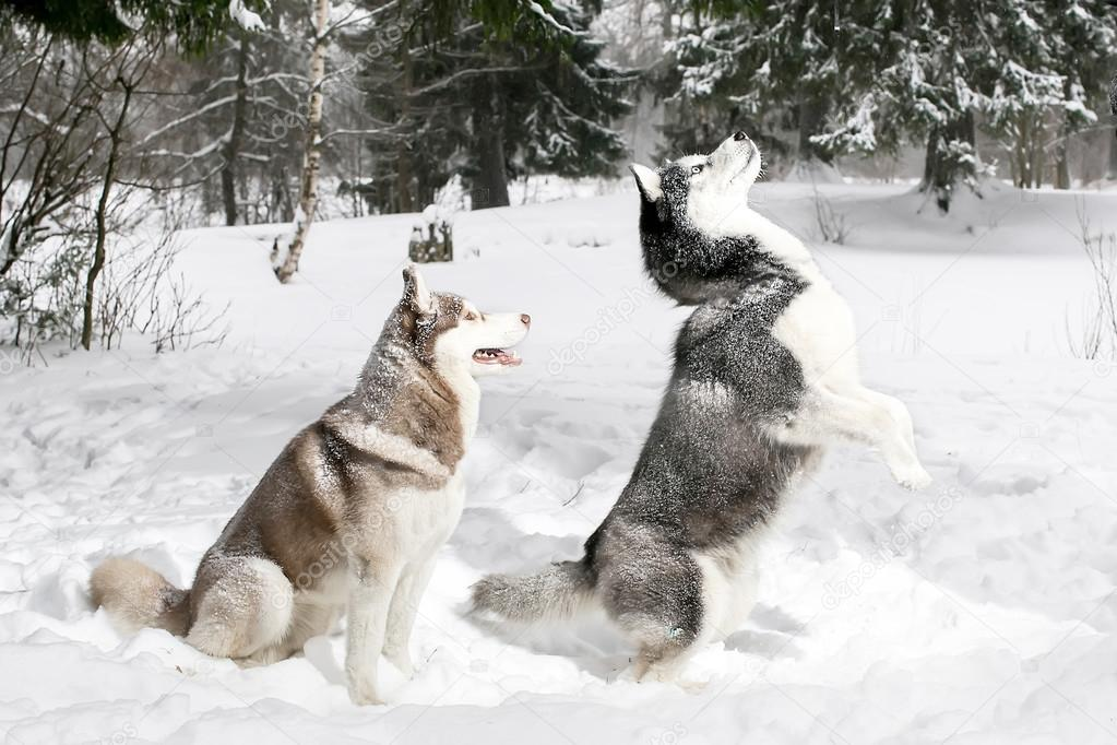 Husky Standing On Its Hind Legs Snow Winter Stock Photo