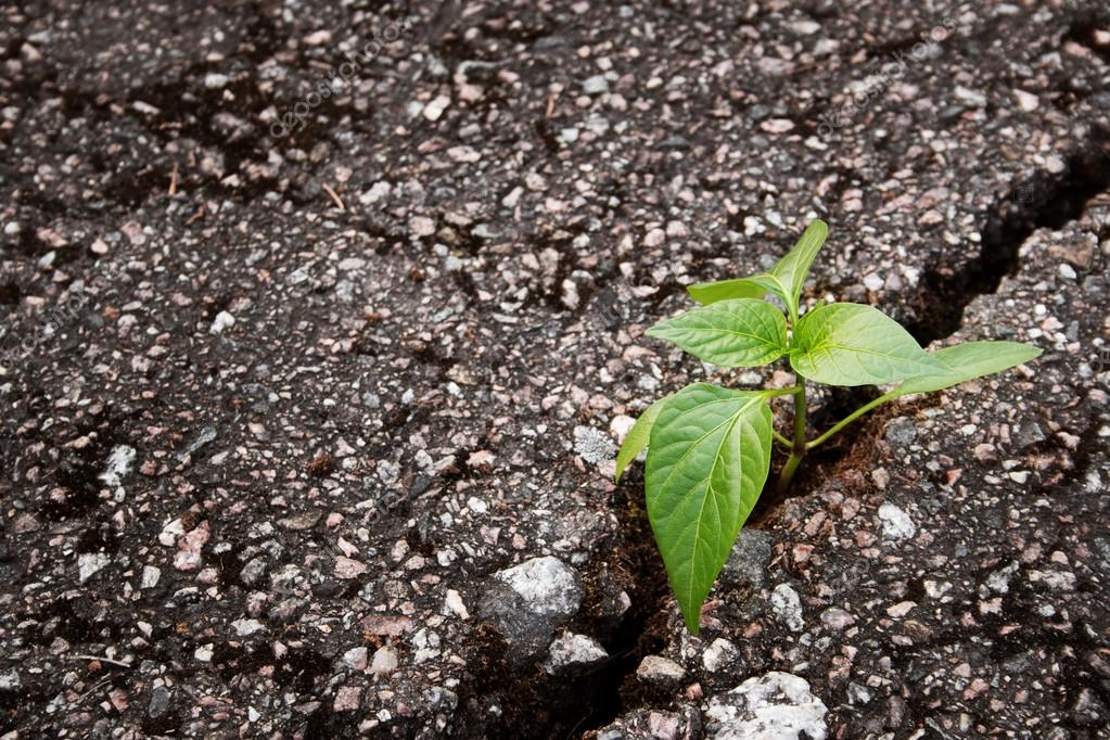 Plant growing from crack in asphalt