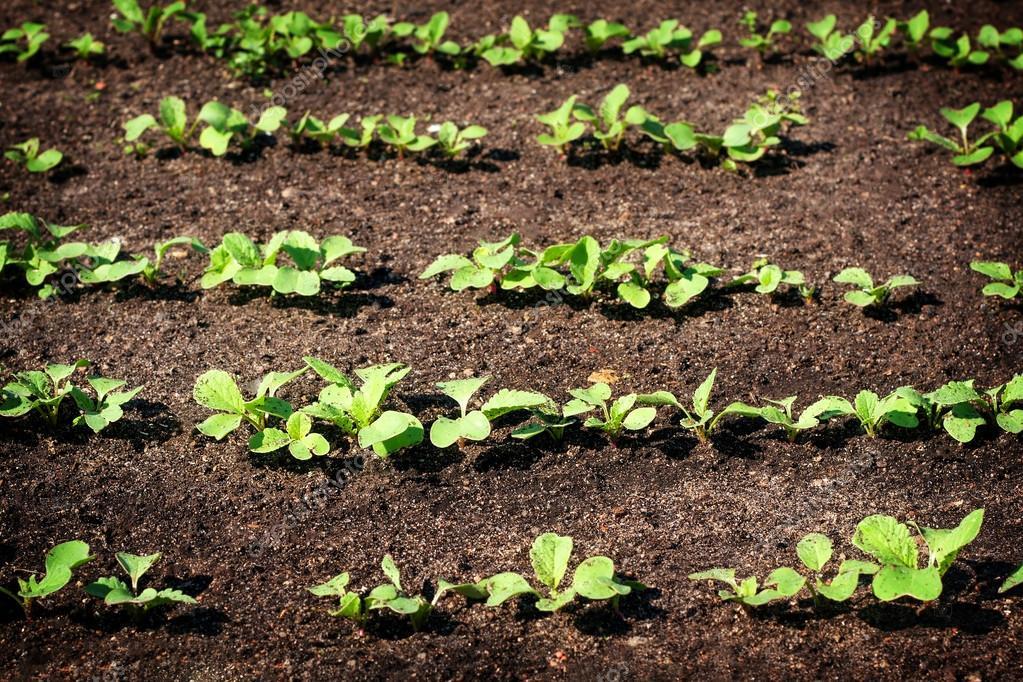 seedlings in the garden