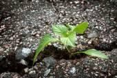 Pflanzenanbau aus Riss im asphalt
