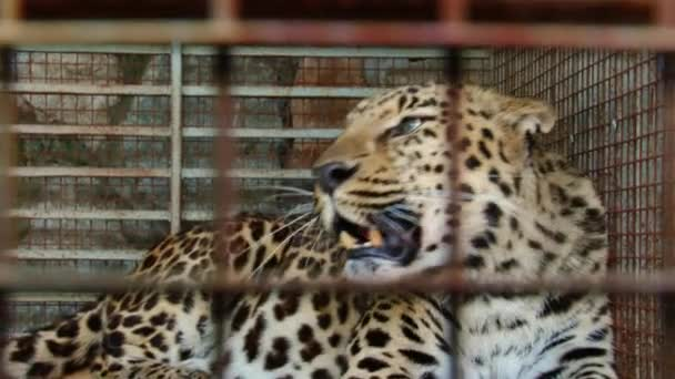 Rare animals - the Amur leopard in a zoo