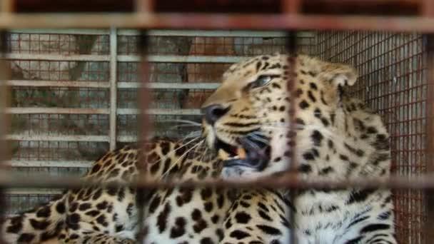 Vzácná zvířata - Amur leopard v zoo