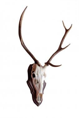skull deer antlers isolated