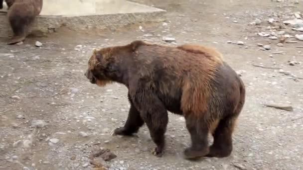 Grizzly Sittig na zemi
