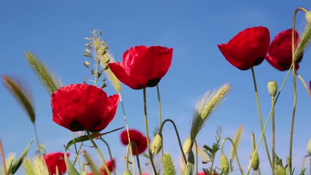 Blooming red poppies flowers natural background
