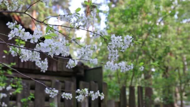 Cherry tree blossoms white flower