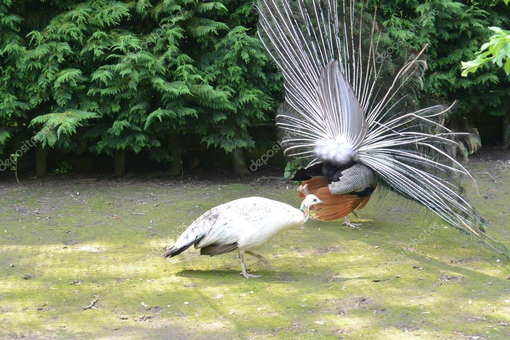 Peacock and peahen mating dance