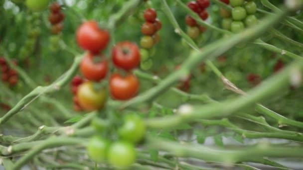 Pomalé zaměření vytáhnout z rajčete