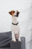 jack russell terrier looking away while sitting on sofa
