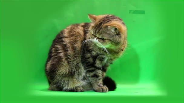 Exotická kočka se myje