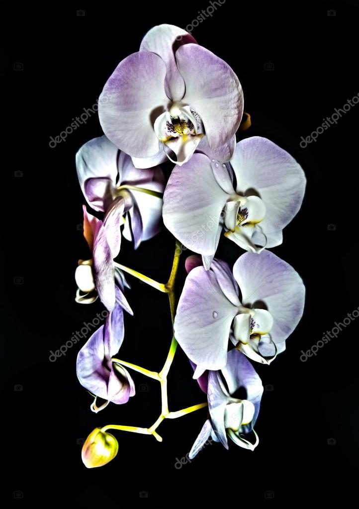 Beautiful raceme of light pink Phalaenopsis orchid flowers