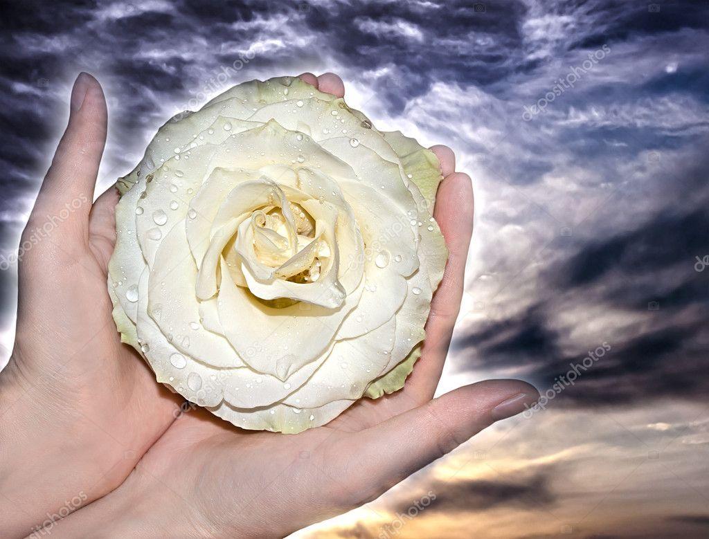 белые розы в ладонях фото том, что