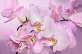 Fotografie Beautiful background of Phalaenopsis orchid flowers