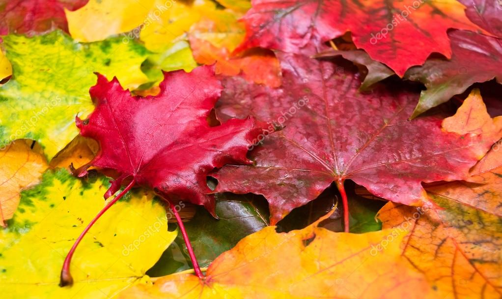 Natural background of wet maple leaves